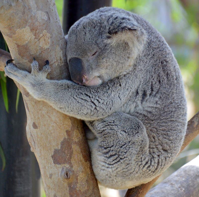 L'orso di koala fotografia stock