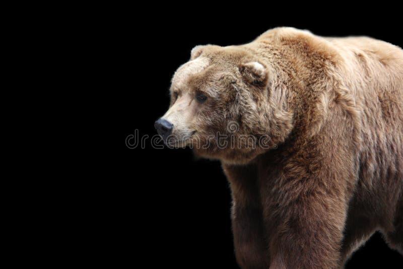 L'orso grigio riguarda un fondo nero immagini stock libere da diritti