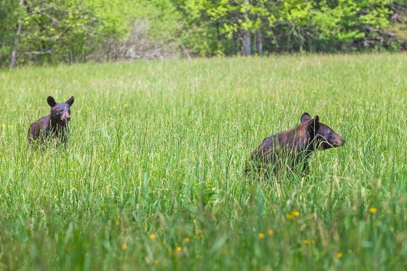 L'orso nero americano che cammina nel prato nel parco nazionale di Great Smoky Mountains, questo è il posto famoso nel Tennessee  immagine stock libera da diritti