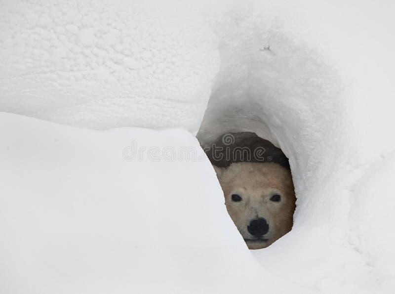 L'orso polare in una tana immagine stock libera da diritti