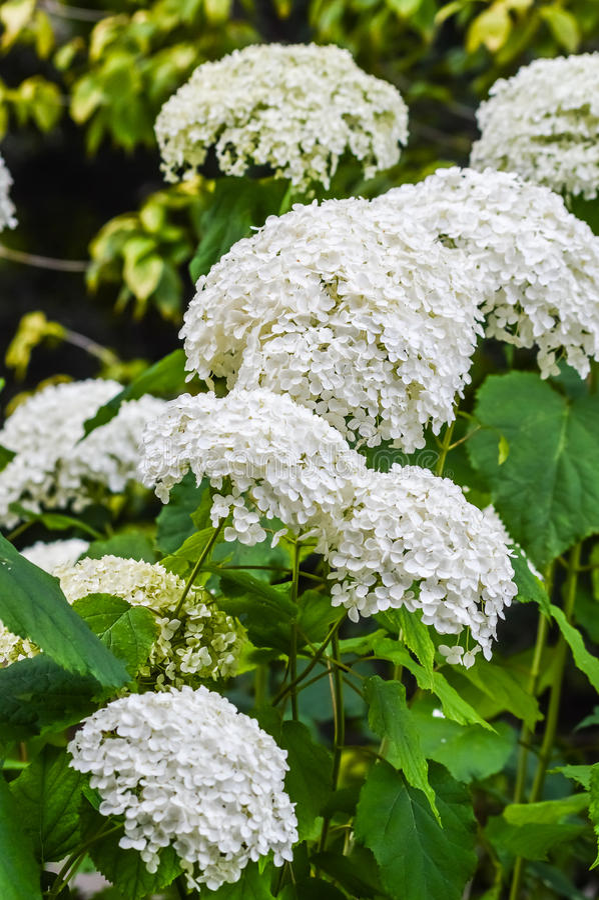 L'ortensia bianca fiorisce il cespuglio immagine stock
