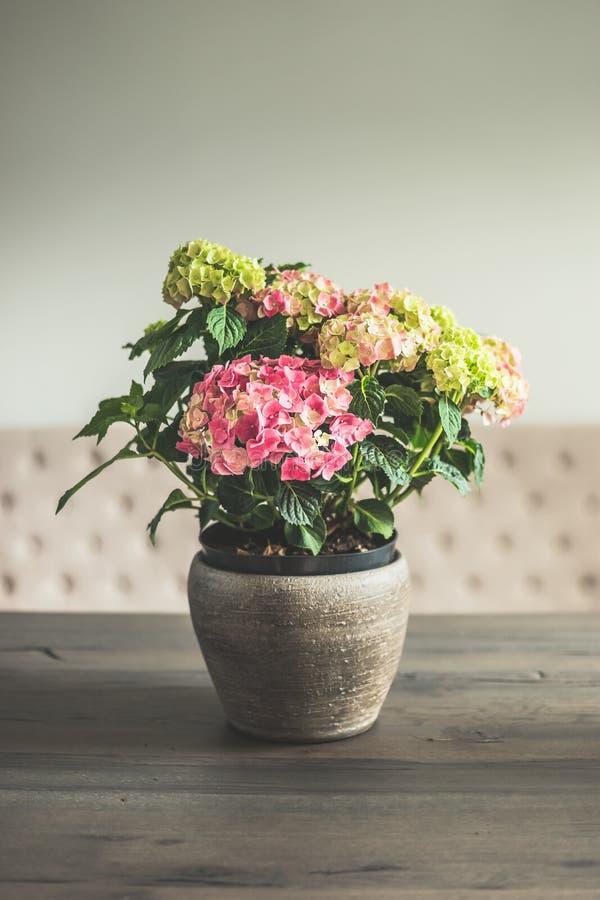 L'ortensia fiorisce in vaso sulla tavola dinning in salone, in decorazione domestica e nell'interno fotografie stock