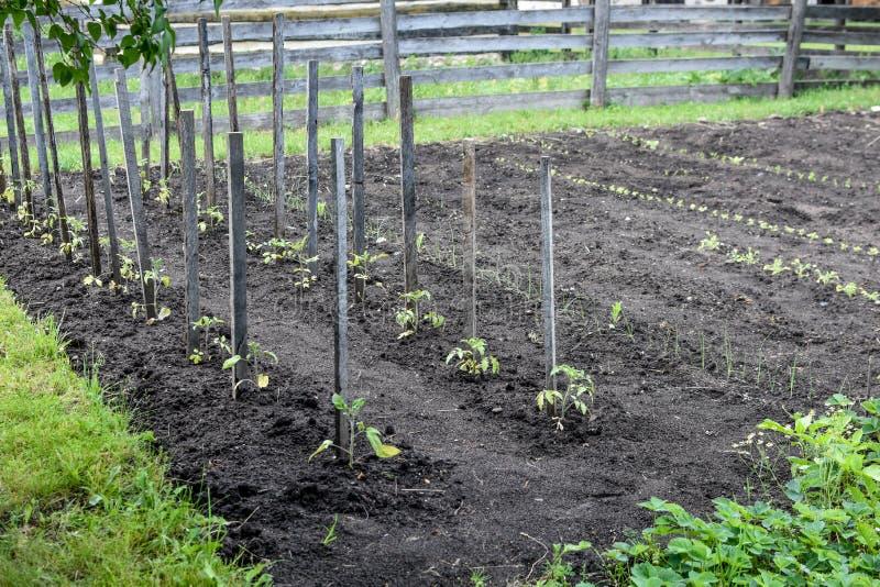 L'orto ha picchettato le piante di pomodori fotografie stock