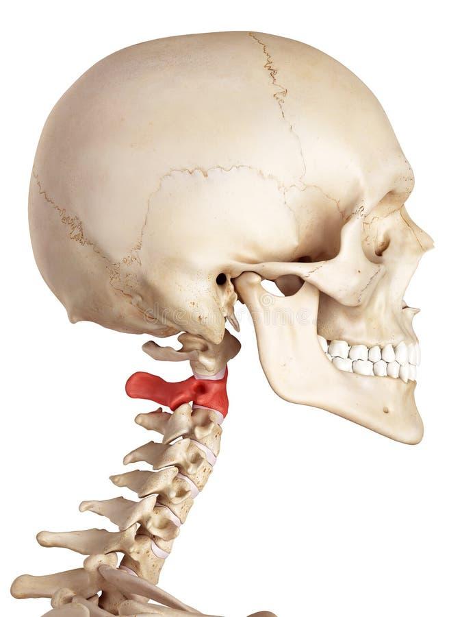 L'os d'axe illustration de vecteur