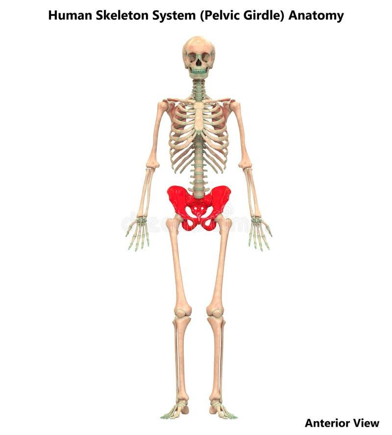 L'os humain de ceinture pelvienne de système cadre joint l'anatomie illustration de vecteur