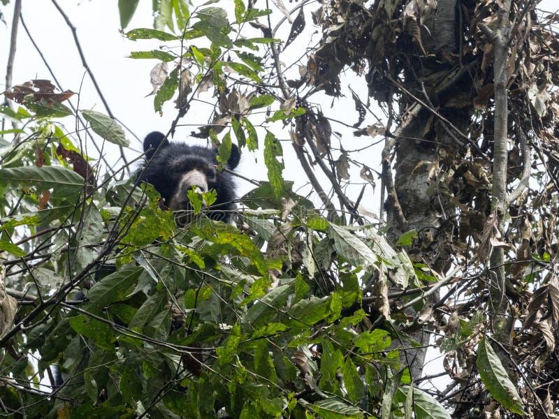 L'ours à lunettes, ornatus de Tremarctos, est alimenté sur un arbre dans la forêt brumeuse de montagne de Maquipucuna, Equateur photographie stock libre de droits
