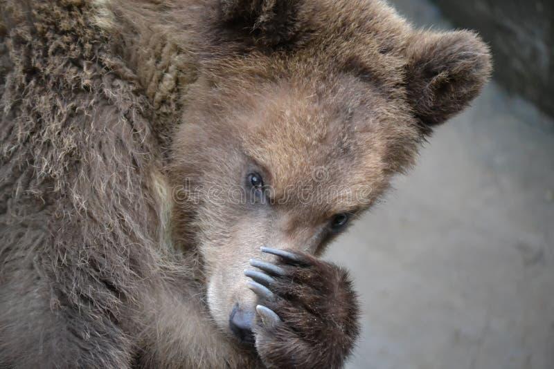 L'ours photographie stock libre de droits
