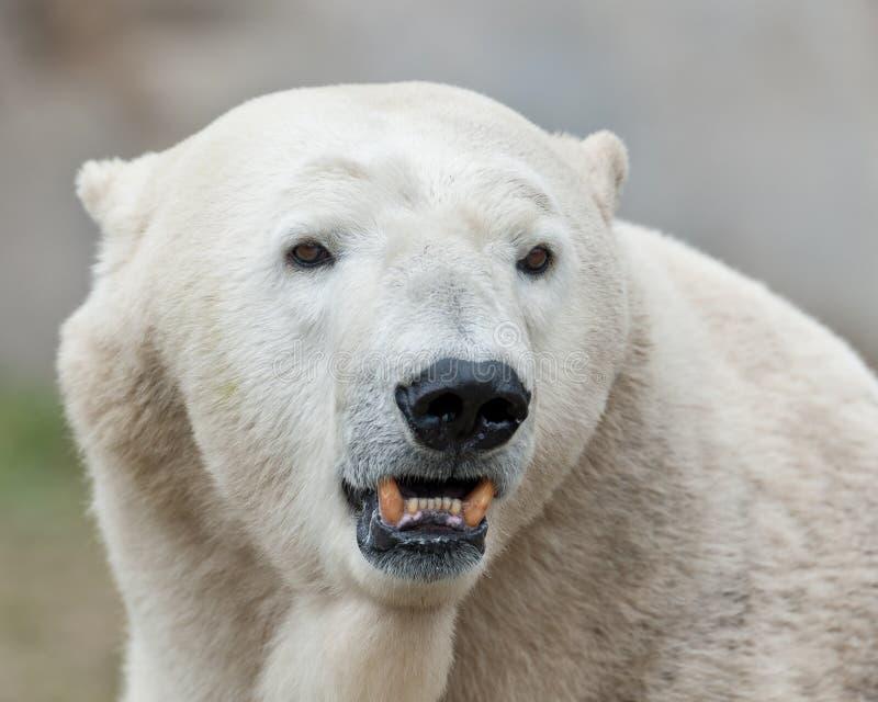 L'ours blanc affiche des dents photographie stock