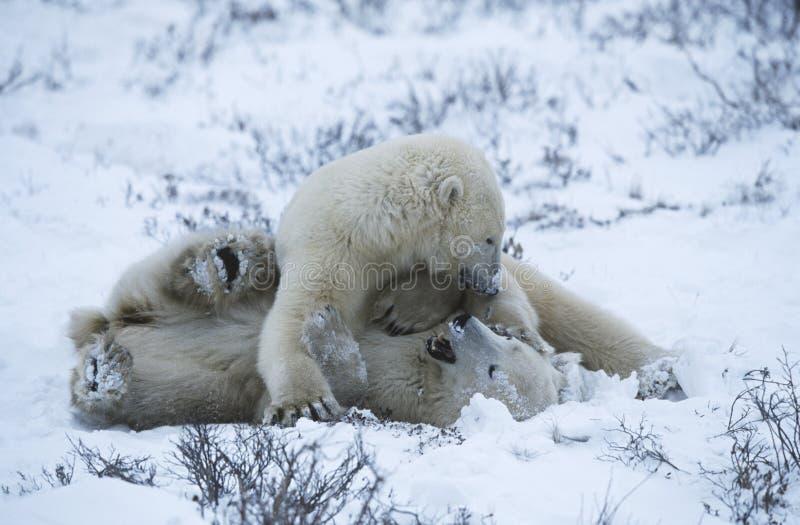 L'ours blanc de Churchill de Canada met bas jouer dans la neige image libre de droits