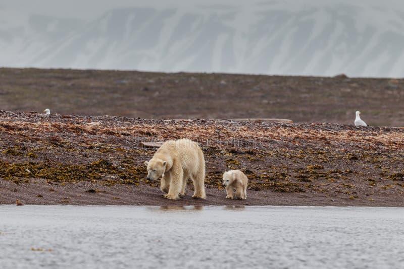 L'ours blanc marche avec un petit animal à la recherche de la nourriture photos libres de droits