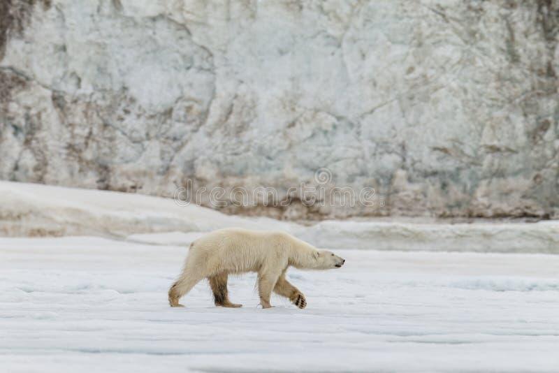 L'ours blanc marche le long de la feuille de glace photographie stock