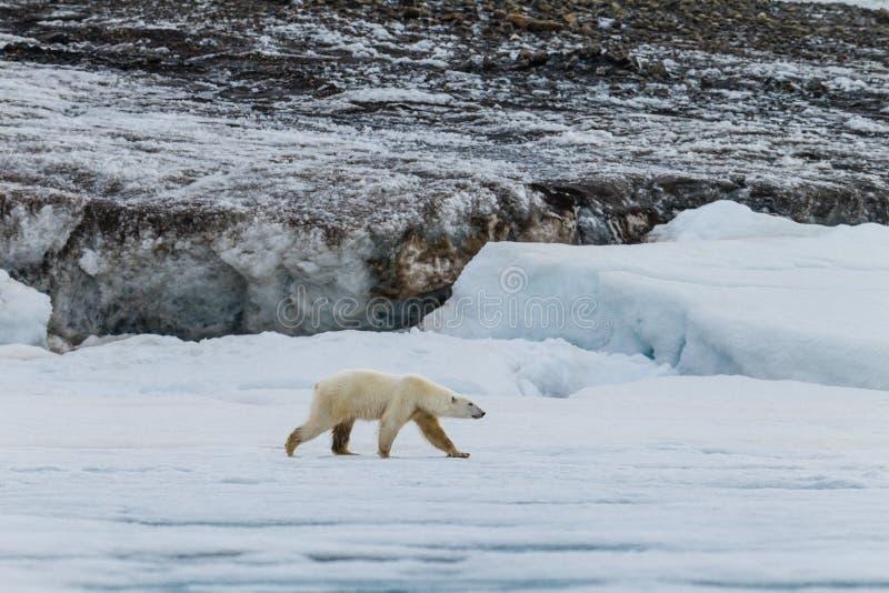 L'ours blanc marche le long de la feuille de glace images stock