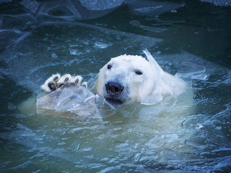 L'ours blanc ondule sa patte Émerge de l'eau la rupture d'une couche mince de glace photographie stock libre de droits