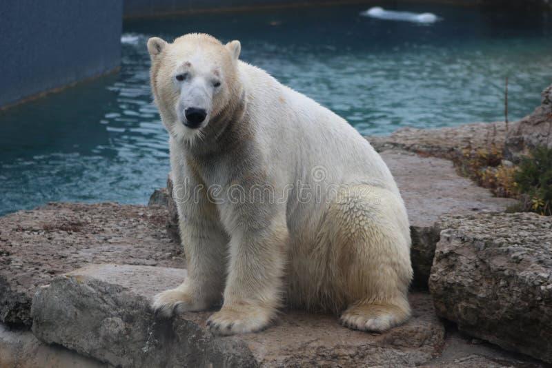 L'ours blanc qui regarde une conservation triste de peu est essentiel pour le ce des espèces photo stock