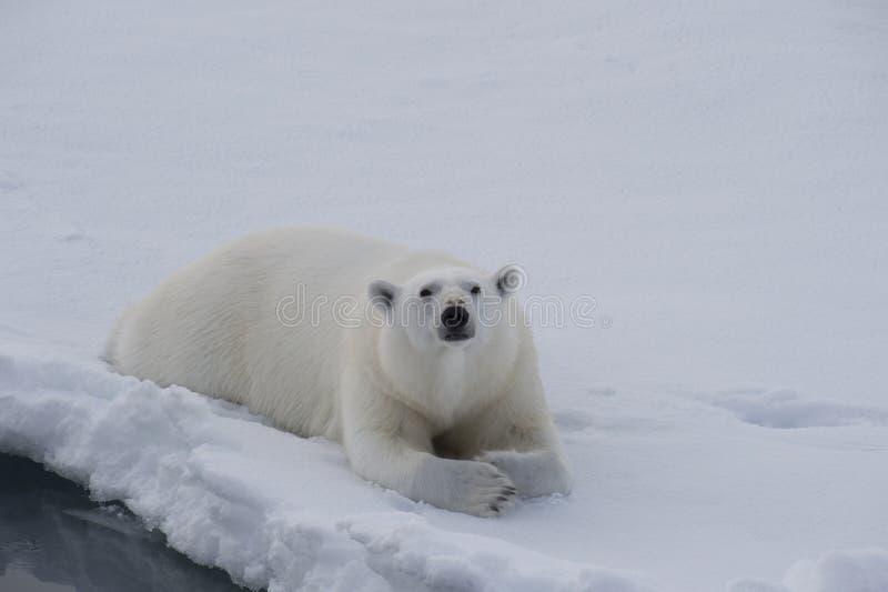 L'ours blanc se trouve sur la glace photos stock