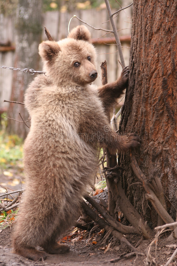 L'ours coûte sur des pattes plus de derrière près à un arbre photo libre de droits