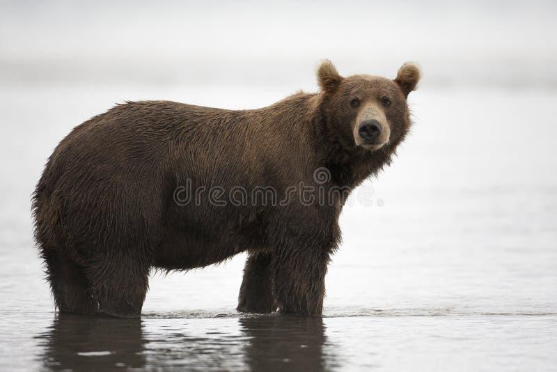 L'ours de Brown est dans l'eau image stock