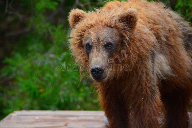 L'ours de Brown est venu aux personnes photo libre de droits