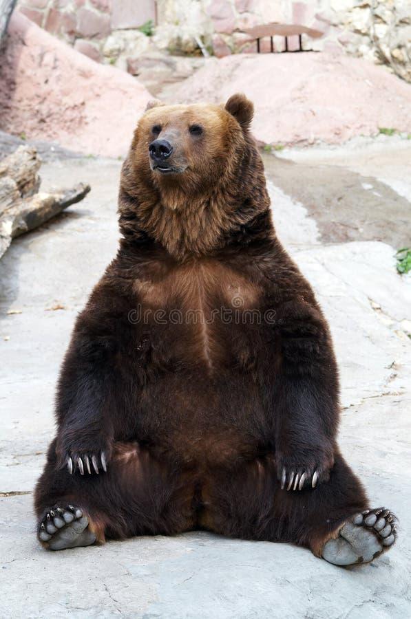 L'ours de Brown prend un reste photo stock