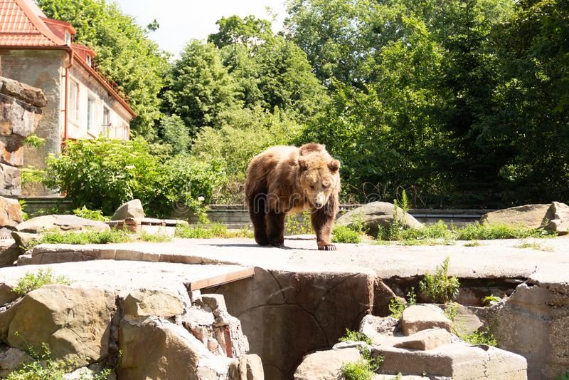 L'ours de Brown recherche un endroit approprié où il n'y a aucune lumière du soleil chaude images libres de droits