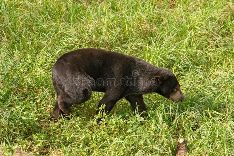L'ours du soleil images libres de droits
