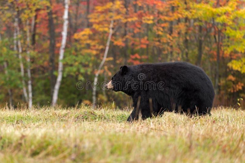 L'ours noir de femelle adulte (Ursus américanus) marche à gauche photographie stock libre de droits