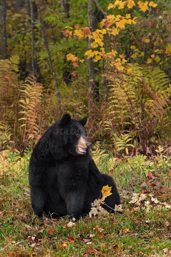 L'ours noir de femelle adulte (Ursus américanus) repose sembler exact images libres de droits