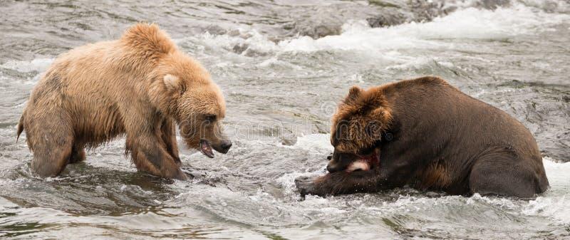 L'ours observe des autres manger des saumons en rivière photos stock
