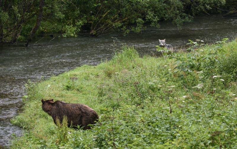 L'ours rencontre le loup image libre de droits