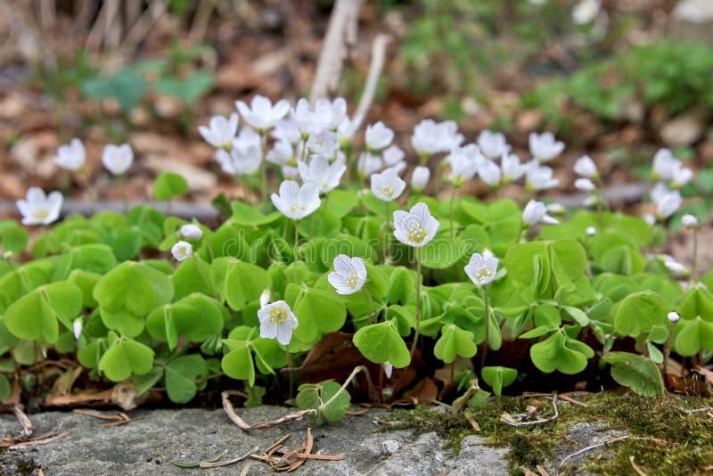 L'oxalide blanche petite oseille fleurit au printemps photo stock
