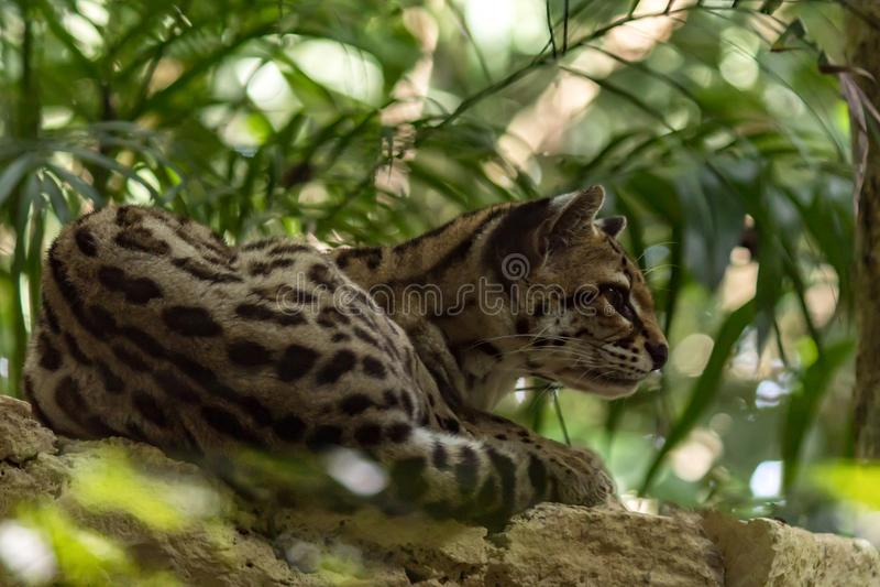 L'ozelot è un gatto selvaggio fotografie stock libere da diritti