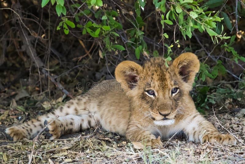 L'petit animal de lion de sommeil prend un repos images libres de droits