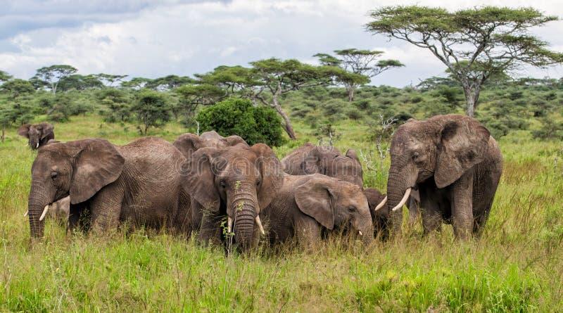 ?l?phant dans Serengeti en Tanzanie image stock