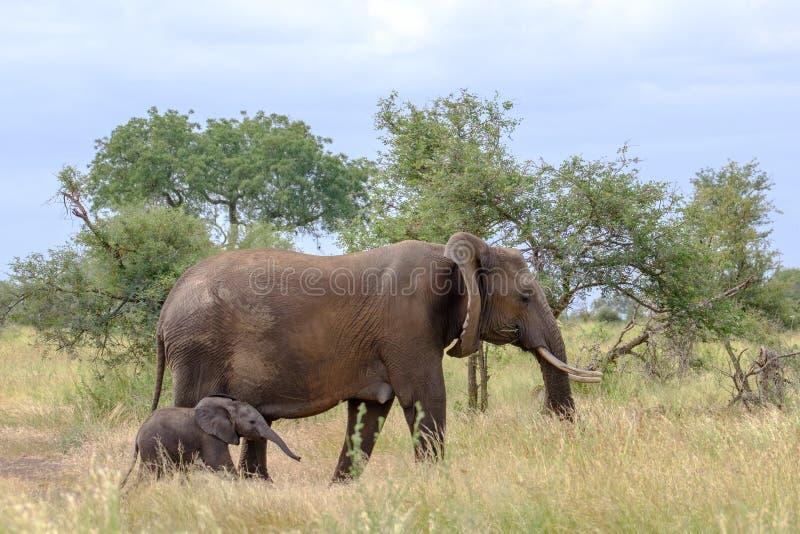 ?l?phant femelle avec nouvellement la promenade n?e minuscule de veau dans la longue herbe au parc national de Kruger, Afrique du image libre de droits