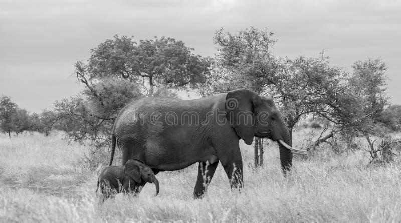 ?l?phant femelle avec nouvellement la promenade n?e minuscule de veau dans la longue herbe au parc national de Kruger, Afrique du photos stock
