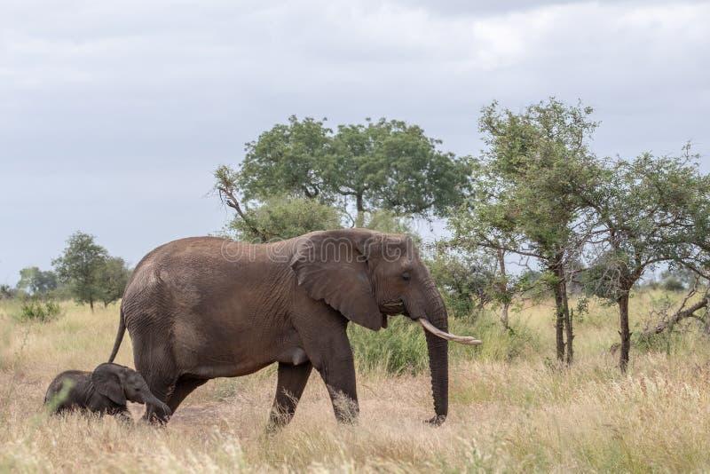?l?phant femelle et nouvellement promenade n?e de veau dans la longue herbe au parc national de Kruger, Afrique du Sud image stock