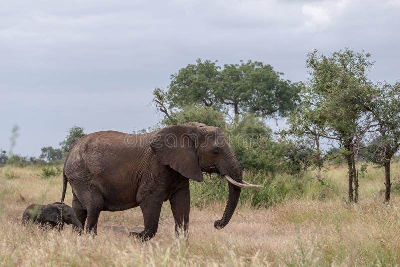 ?l?phant femelle et nouvellement promenade n?e de veau dans la longue herbe au parc national de Kruger, Afrique du Sud photos stock