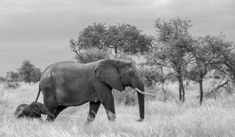 ?l?phant femelle et nouvellement promenade n?e de veau dans la longue herbe au parc national de Kruger, Afrique du Sud photo stock