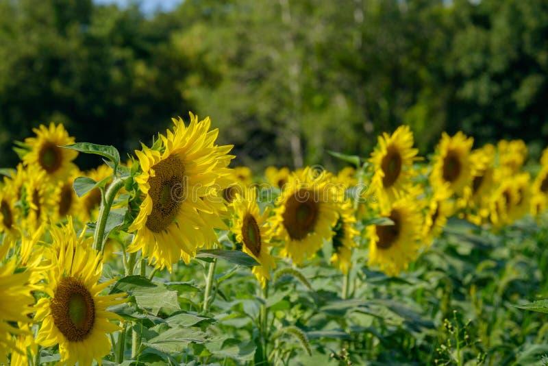 l pola słonecznik fotografia stock