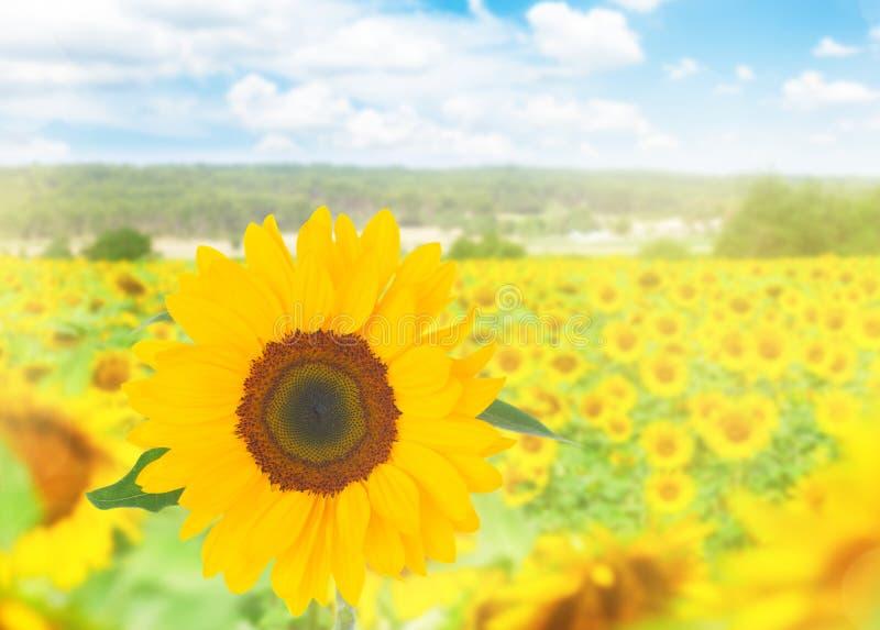 Download L pola słonecznik zdjęcie stock. Obraz złożonej z kultura - 57659080