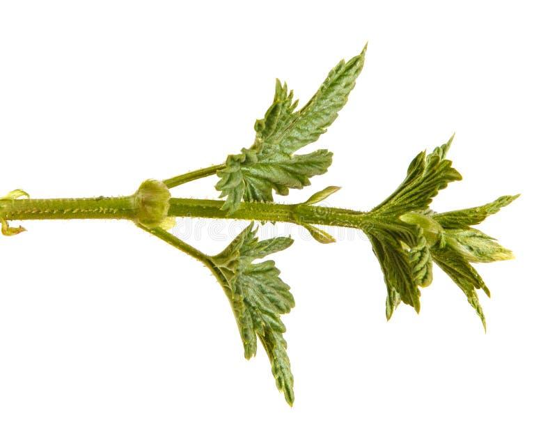 L?pulo da planta com folhas verdes Isolado no branco fotos de stock