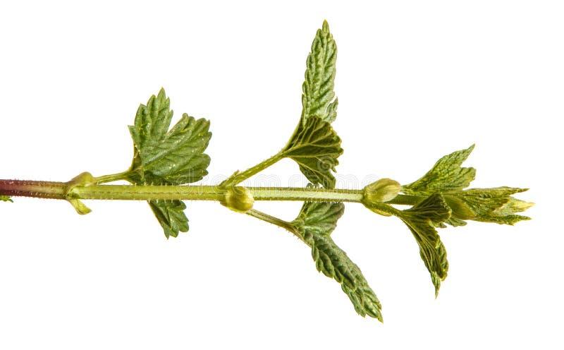 L?pulo da planta com folhas verdes Isolado no branco imagem de stock royalty free
