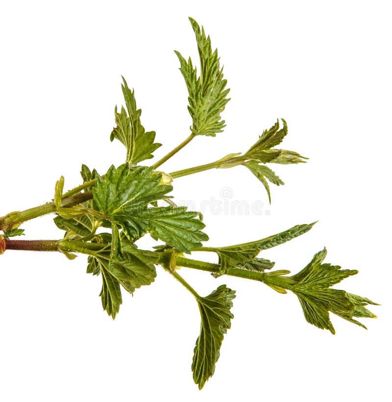 L?pulo da planta com folhas verdes Isolado no branco fotografia de stock