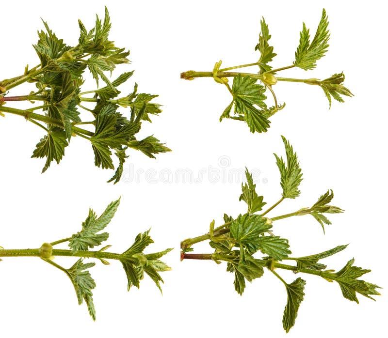L?pulo da planta com folhas verdes Isolado no branco jogo imagem de stock royalty free
