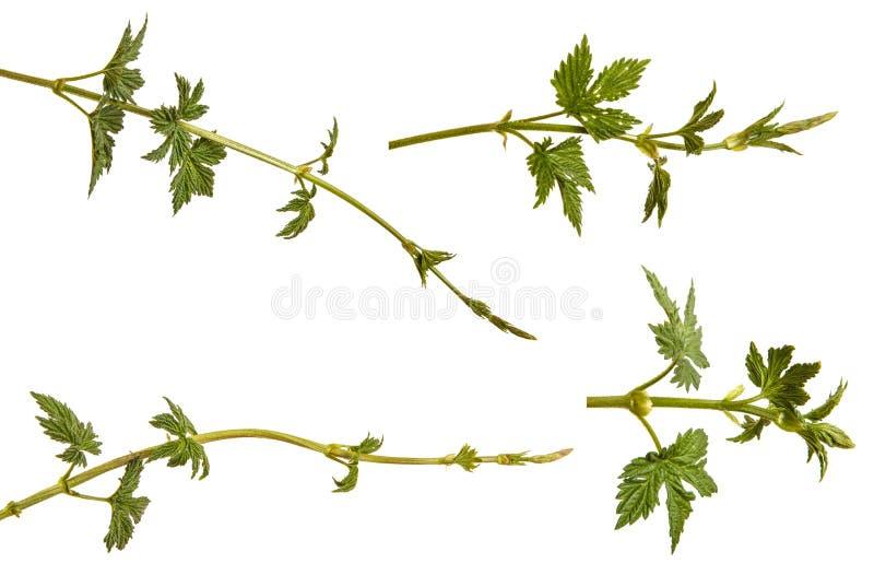 L?pulo da planta com folhas verdes Isolado no branco jogo fotografia de stock