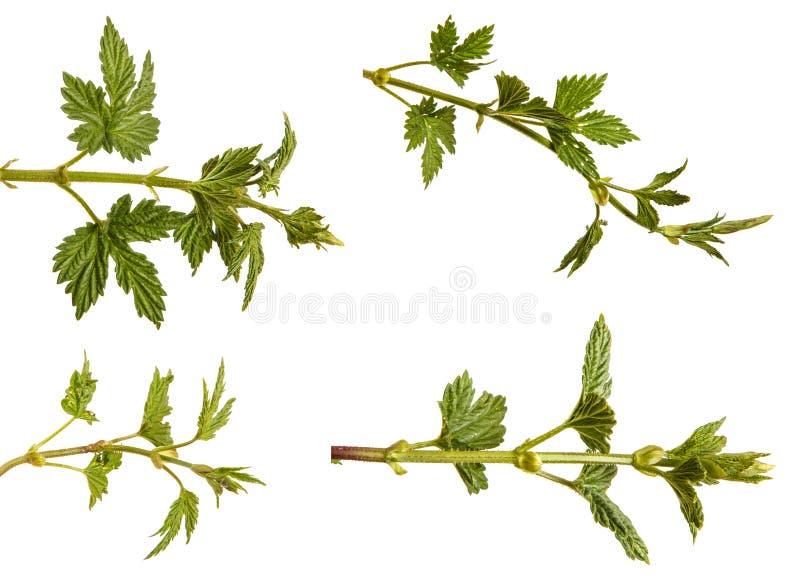 L?pulo da planta com folhas verdes Isolado no branco jogo imagens de stock