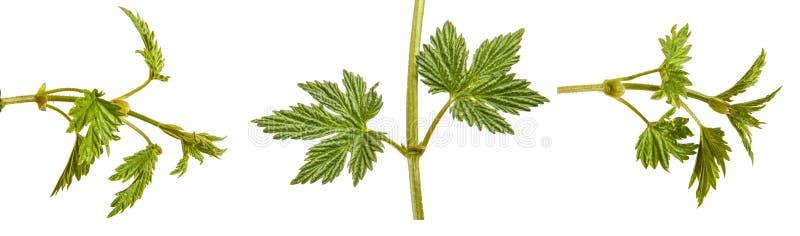 L?pulo da planta com folhas verdes Isolado no branco jogo fotos de stock