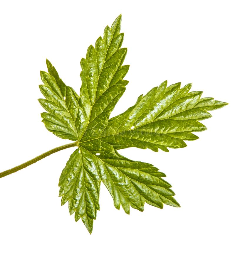 L?pulo verde da folha Isolado no branco fotografia de stock royalty free