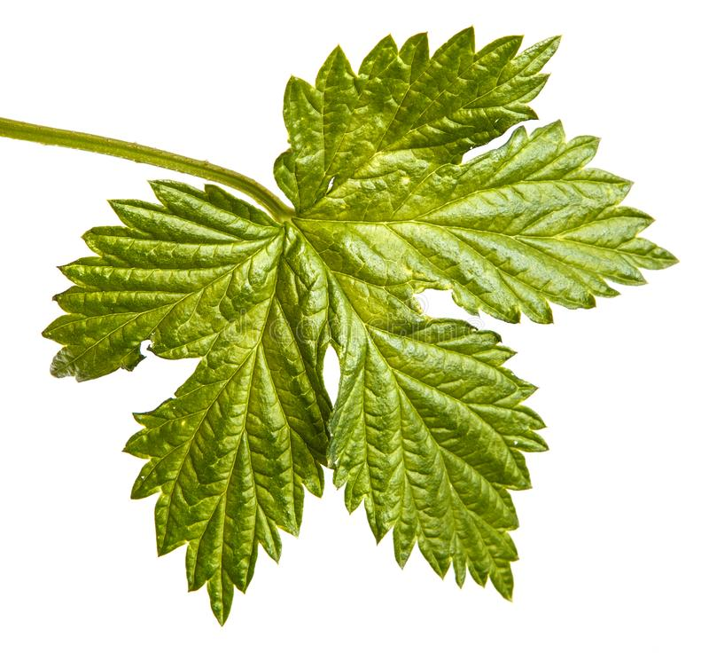 L?pulo verde da folha Isolado no branco fotografia de stock