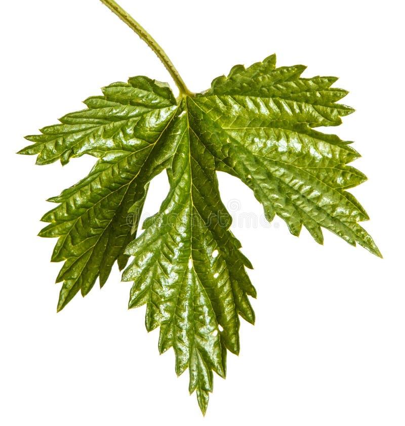 L?pulo verde da folha Isolado no branco imagem de stock